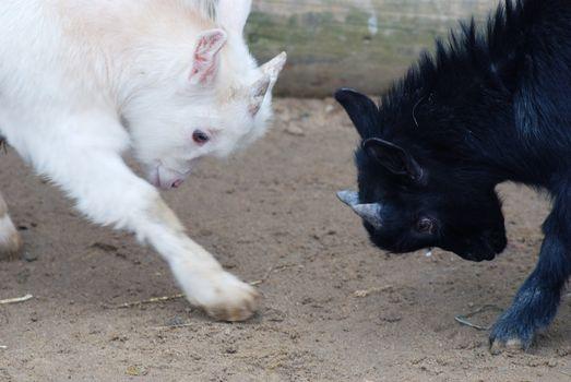 playing goats