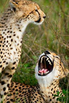 Mother and cub cheetahs in Serengeti national park, Tanzania