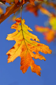 Autumn oak leaves of bright fall colors close up