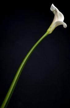 Cala lily on black background. Respect for Robert Mapplethorpe.