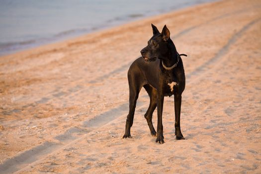 pets series: black dog with collar on the beach