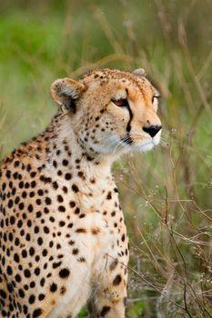 Closeup of beautiful cheetah in Southern Serengeti, Tanzania