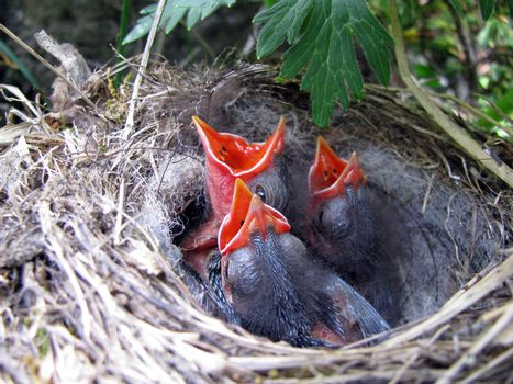 animals, three baby birds