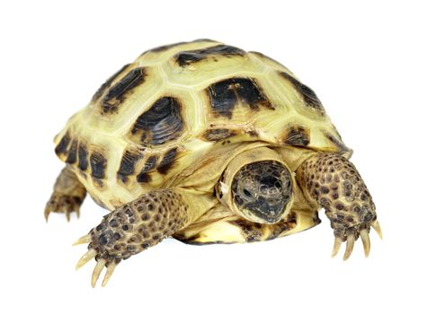 Photo of turtle on a white background...