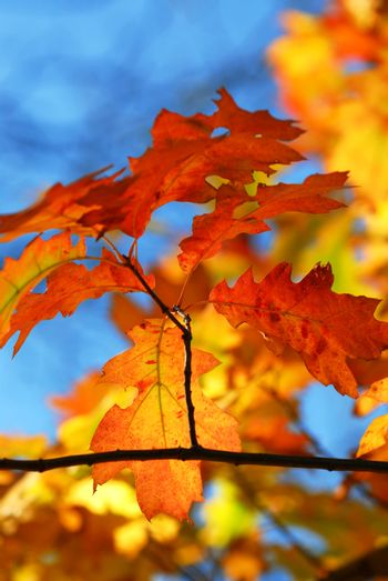 Oak branch with colorful fall leaves in autumn forest on blue sky background