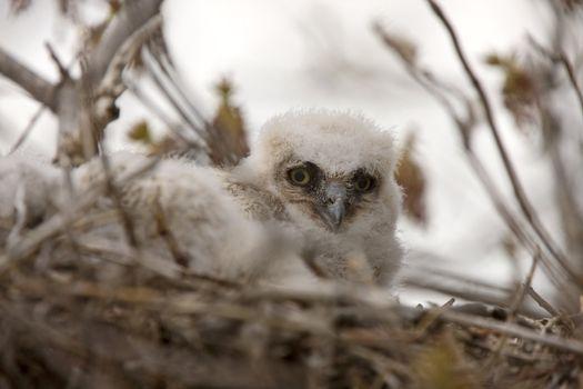 Great Horned Owl Babies in Nest