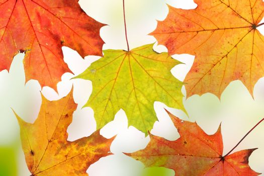 Autumn background - maple leafs close up