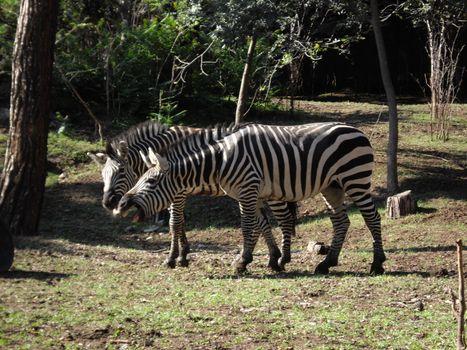 zebra animals