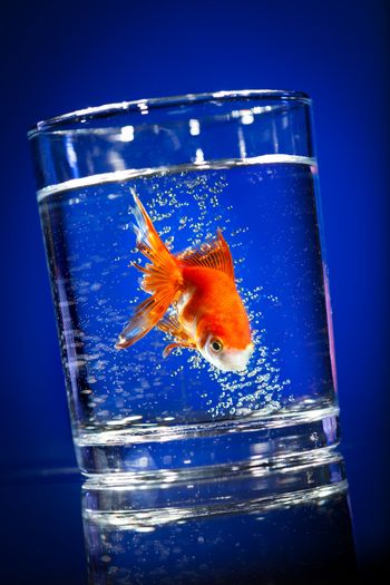 Goldfish in a water glass on a dark blue background