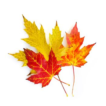 Three colorful fall maple leaves isolated on white background