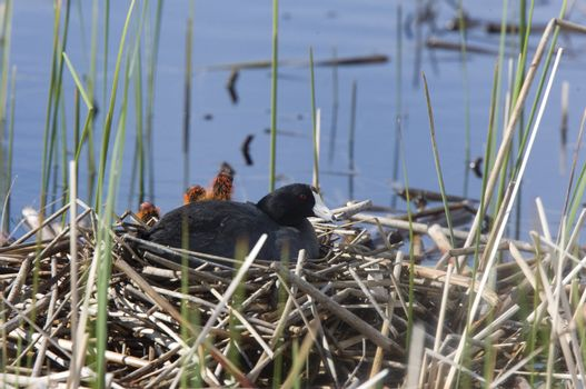 Coot or Waterhen with babies chicks young