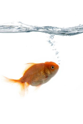 """An image of goldfish """"breathing"""" in water"""