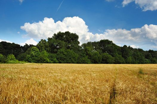 An image of a beautiful summer field of wheat