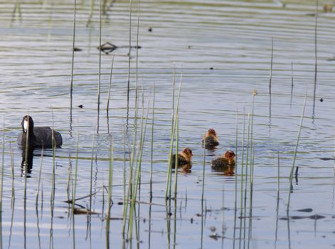 Waterhen Coot with Babies young in slough pond