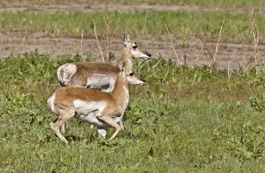 Pronghorn Antelope With Young Babies Saskatchewan Canada