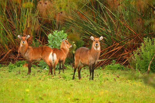 Family of waterbuck on the lake Naivasha. Africa. Kenya