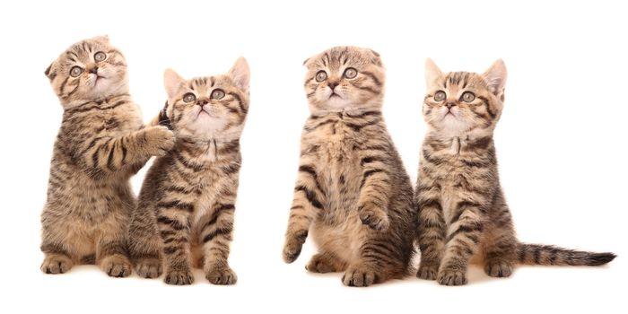 Scottish kittens in funny poses