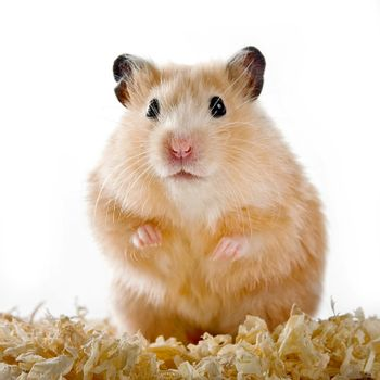 Hamster on sawdust on a white background