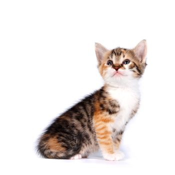 Multi-colored Small kitten on a white background