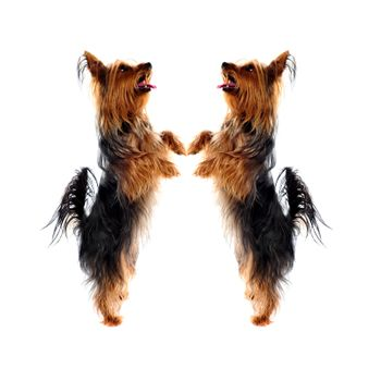 Two loving Yorkshire Terrier pets standing on legs and looking upwards