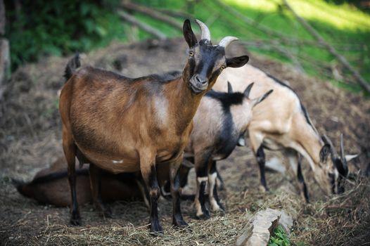 curious goat facing the camera