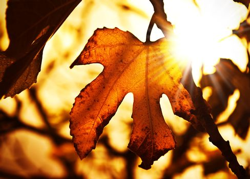 Grunge autumn dark background with dry maple leaves and bright sun light