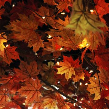 Autumn or fall leaf background with brightly coloured orange maple leaves on tree branches signifying the changing seasons