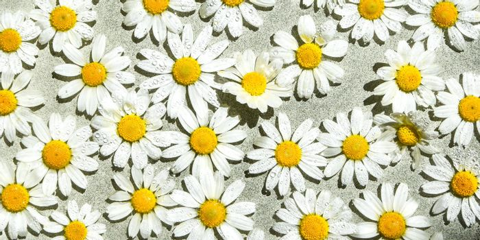Chamomile on the water surface, Floating flowers, water drops, summer background, spa concept, beauty treatment