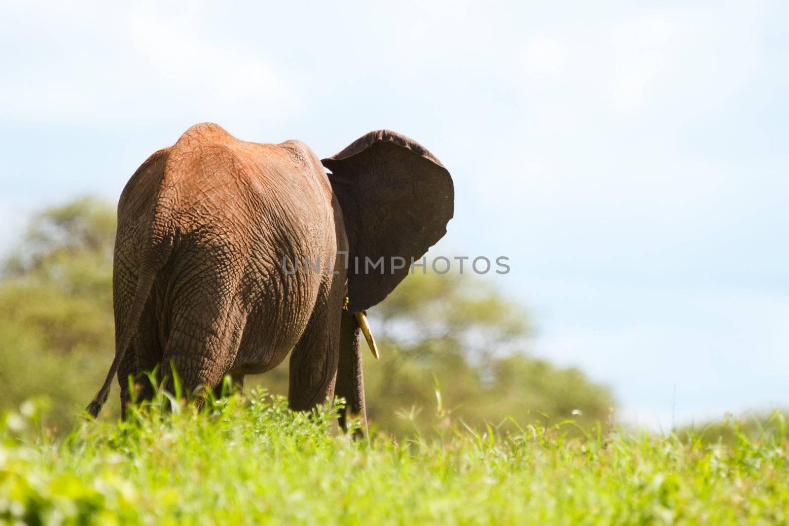 Elephant in Tarangire national park, Tanzania
