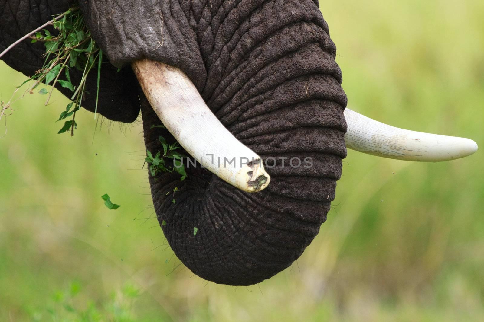 Closeup of male elephant with broken tusk. Serengeti national park, Tanzania