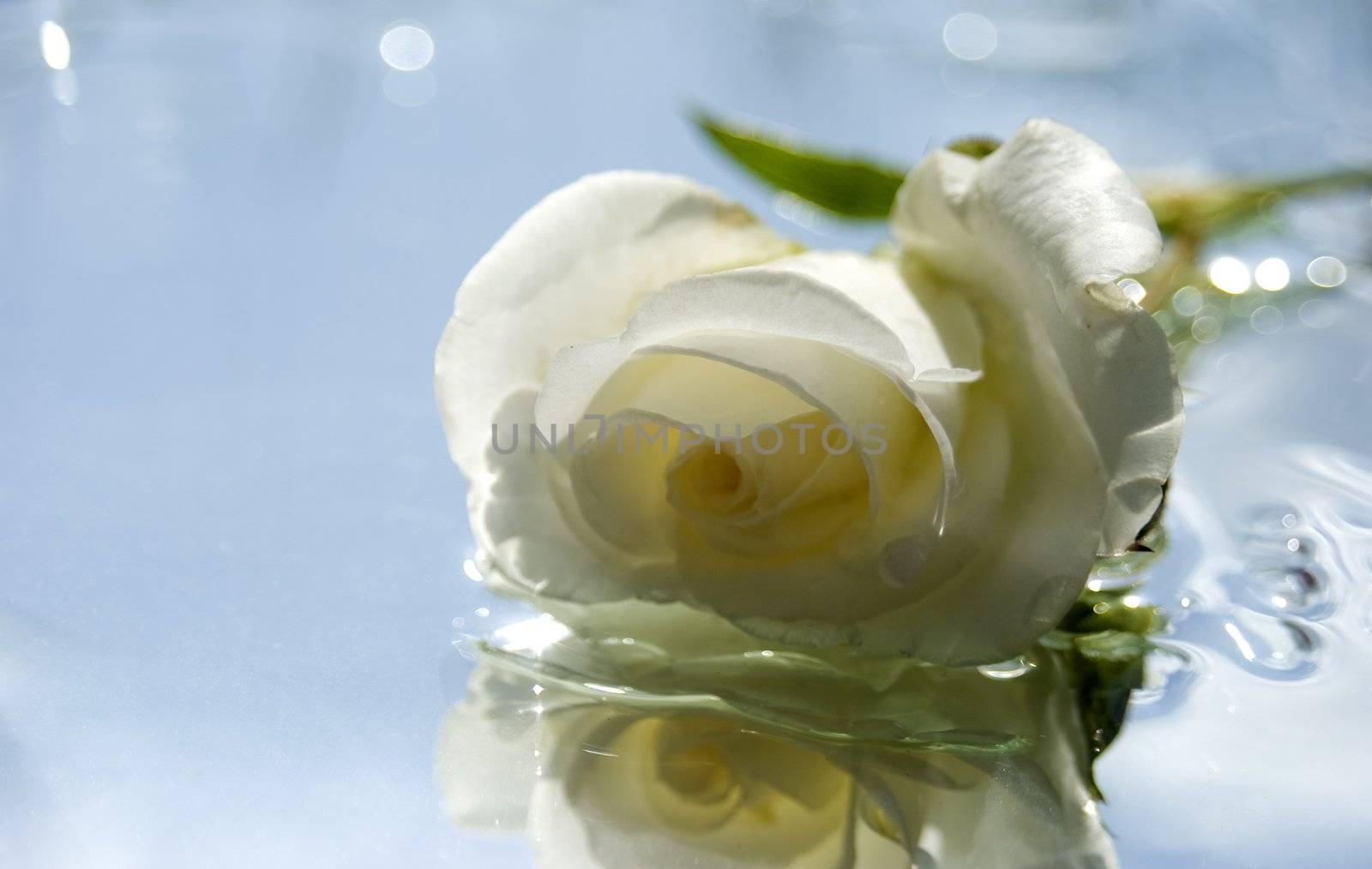 one white summer rose