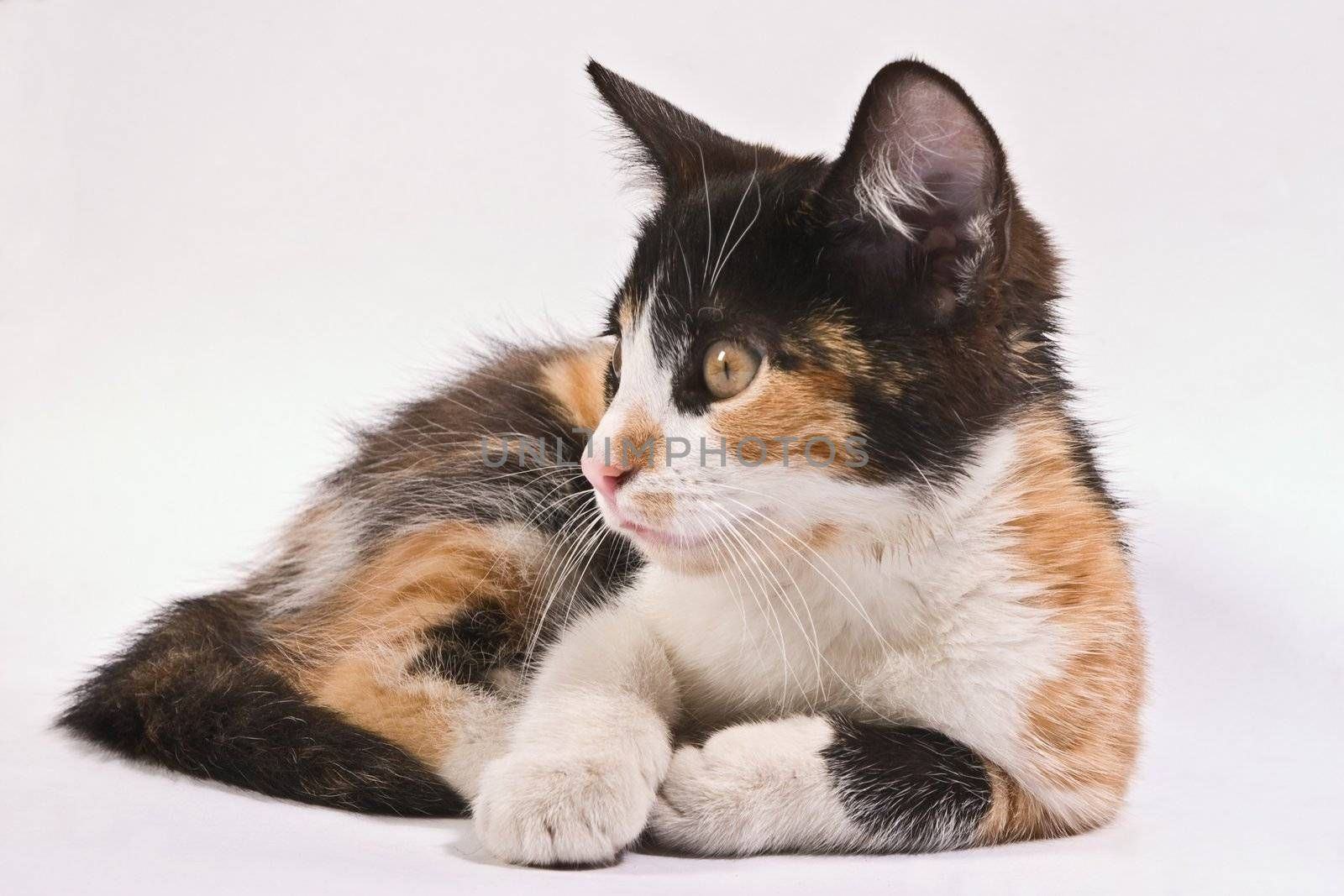 pets series: small fluffy kitten over white