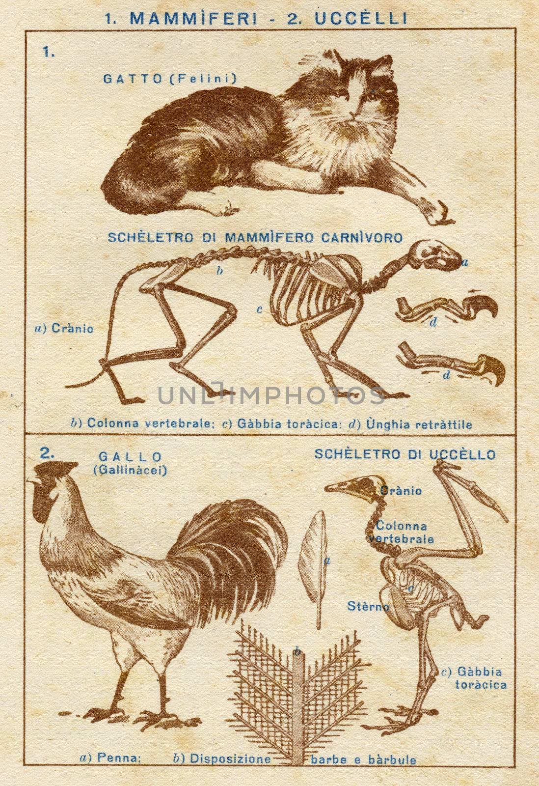 ITALY - CIRCA 1940: Vintage illustration of animals, circa 1940 in Italy
