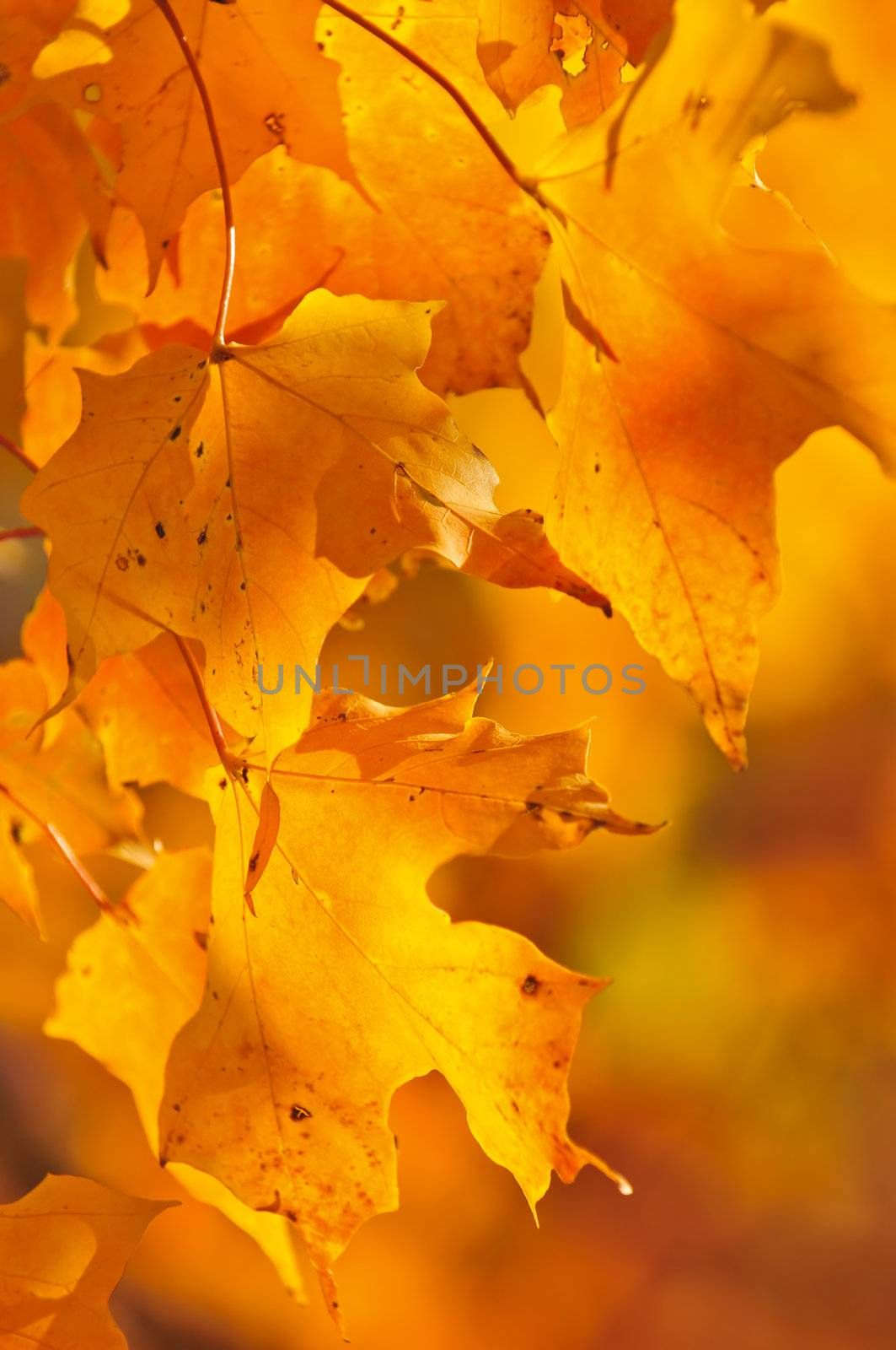 Red and orange fall maple tree leaves