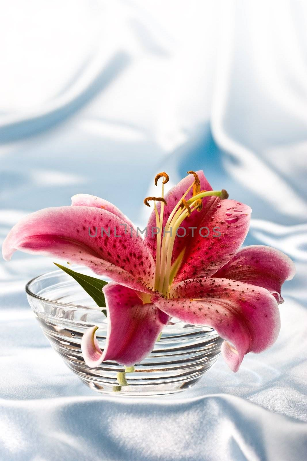 macro picture of pink lily, romantic still life