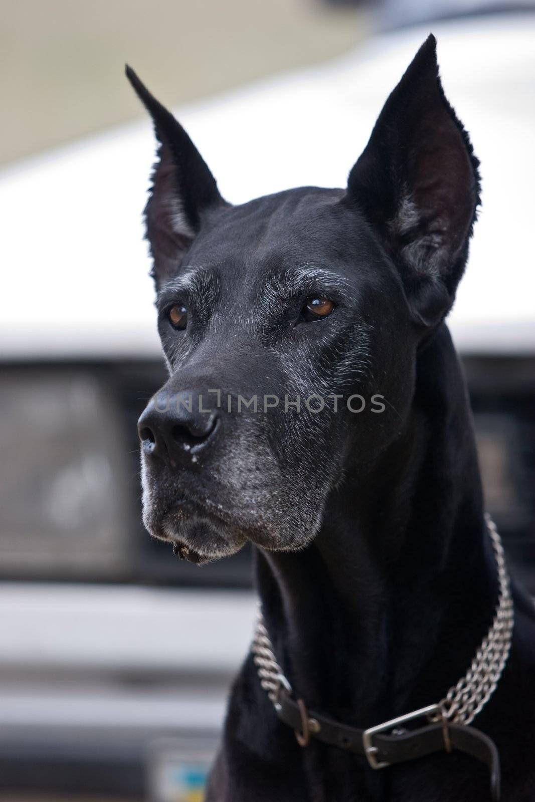 pets series: head of black dog with collar