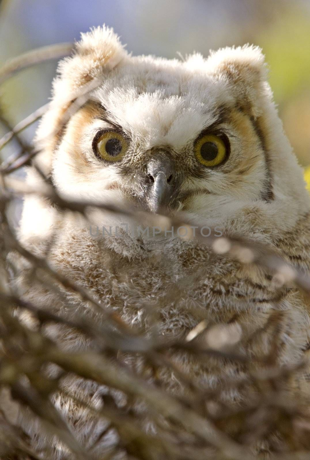 Great Horned Owl Babies Owlets in Nest
