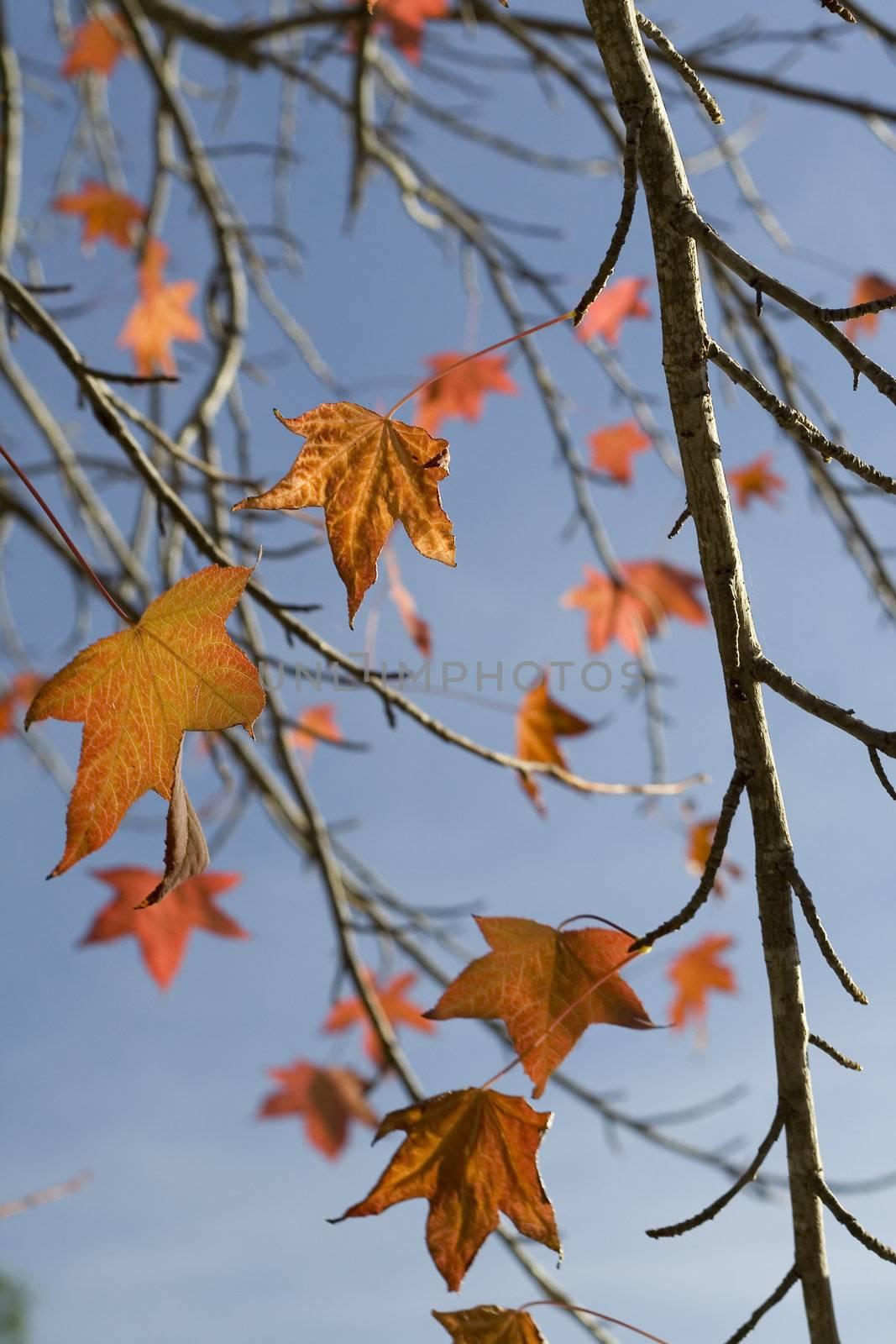 Autumn fall leaves, blue sky
