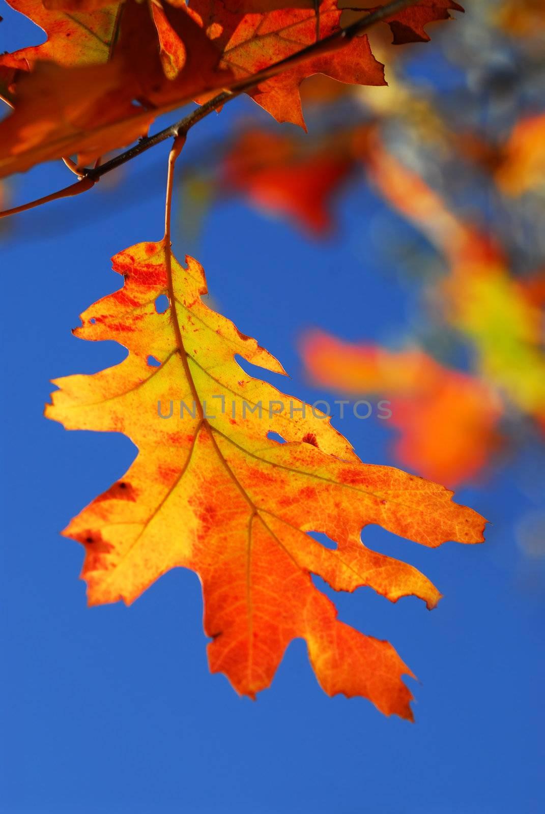 Bright autumn leaf on a fall oak tree branch, blue sky background
