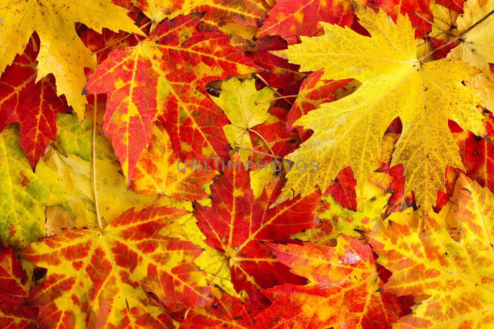 Fall maple leaves background by elenathewise