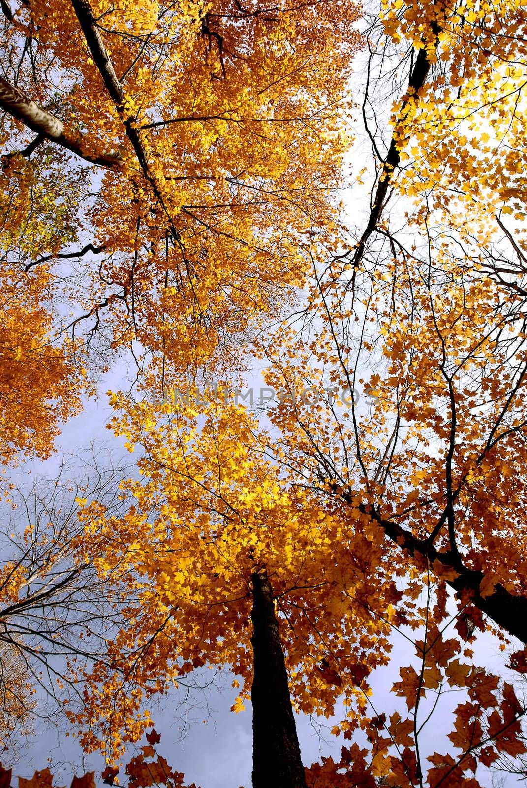 Colorful maple tree tops in the fall