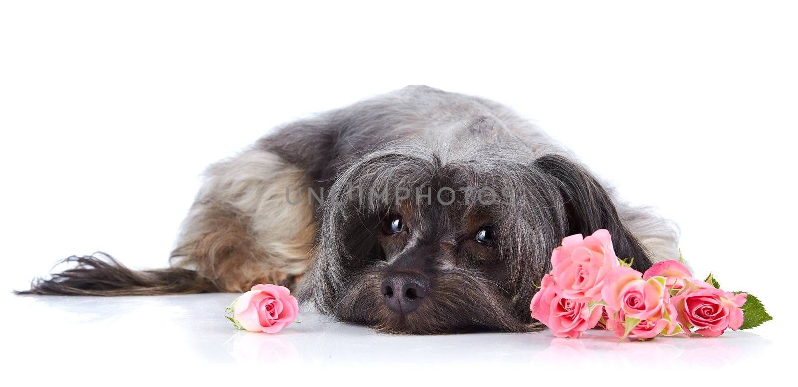 Small doggie. Decorative thoroughbred dog. Puppy of the Petersburg orchid. Shaggy doggie. The dog lies. Doggie and roses. Doggie and flowers.