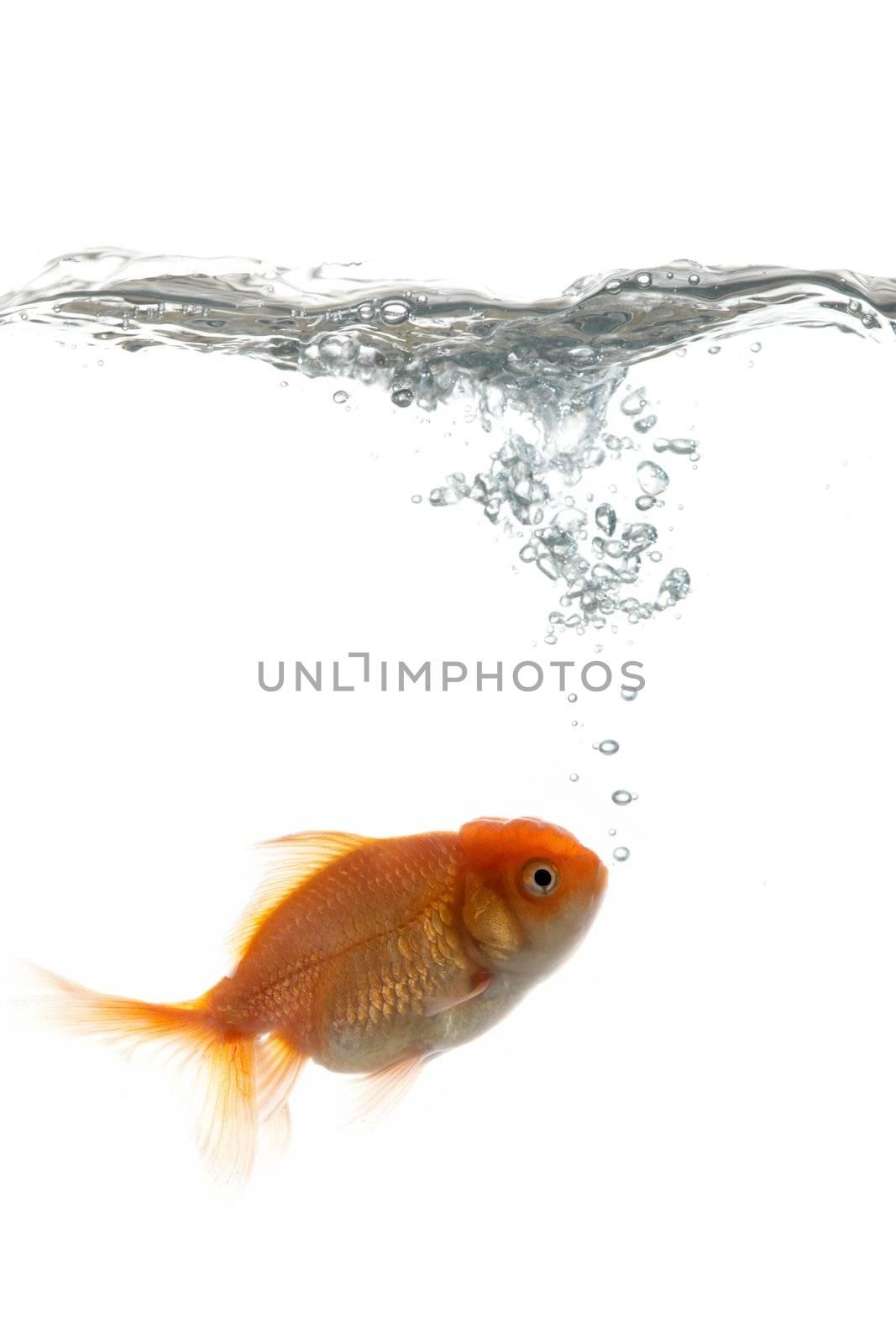 "Golden fish ""breathing"" in water"