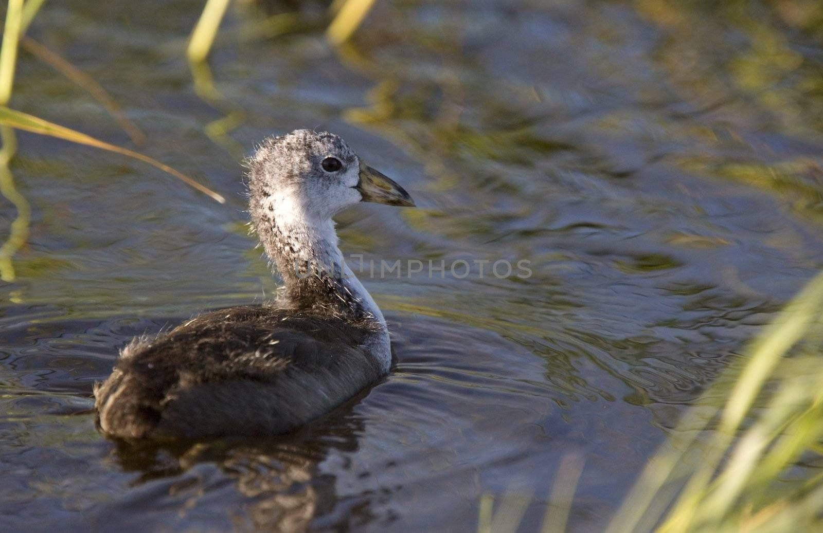 Coot Waterhen Babies in pond in Saskatchewan Canada