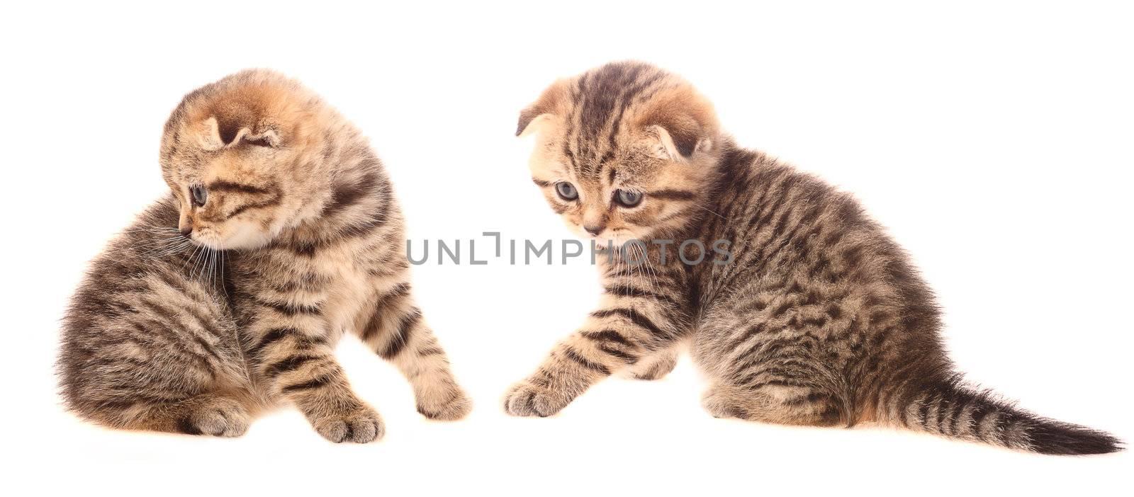 Small scottish fold kittens on white background