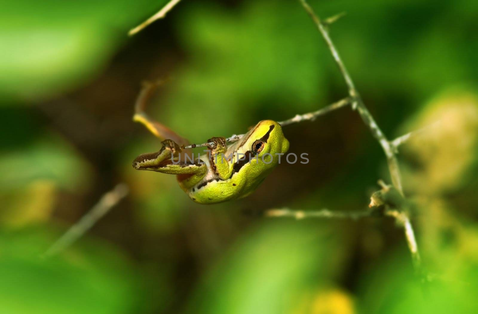 Wildlife. Green tree frog in its habitat