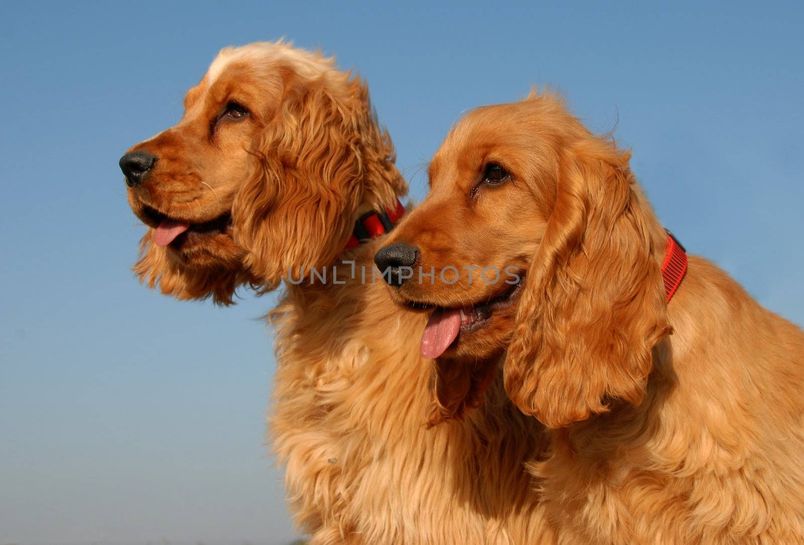 couple of puppies purebred english cocker: cute hunting dogs
