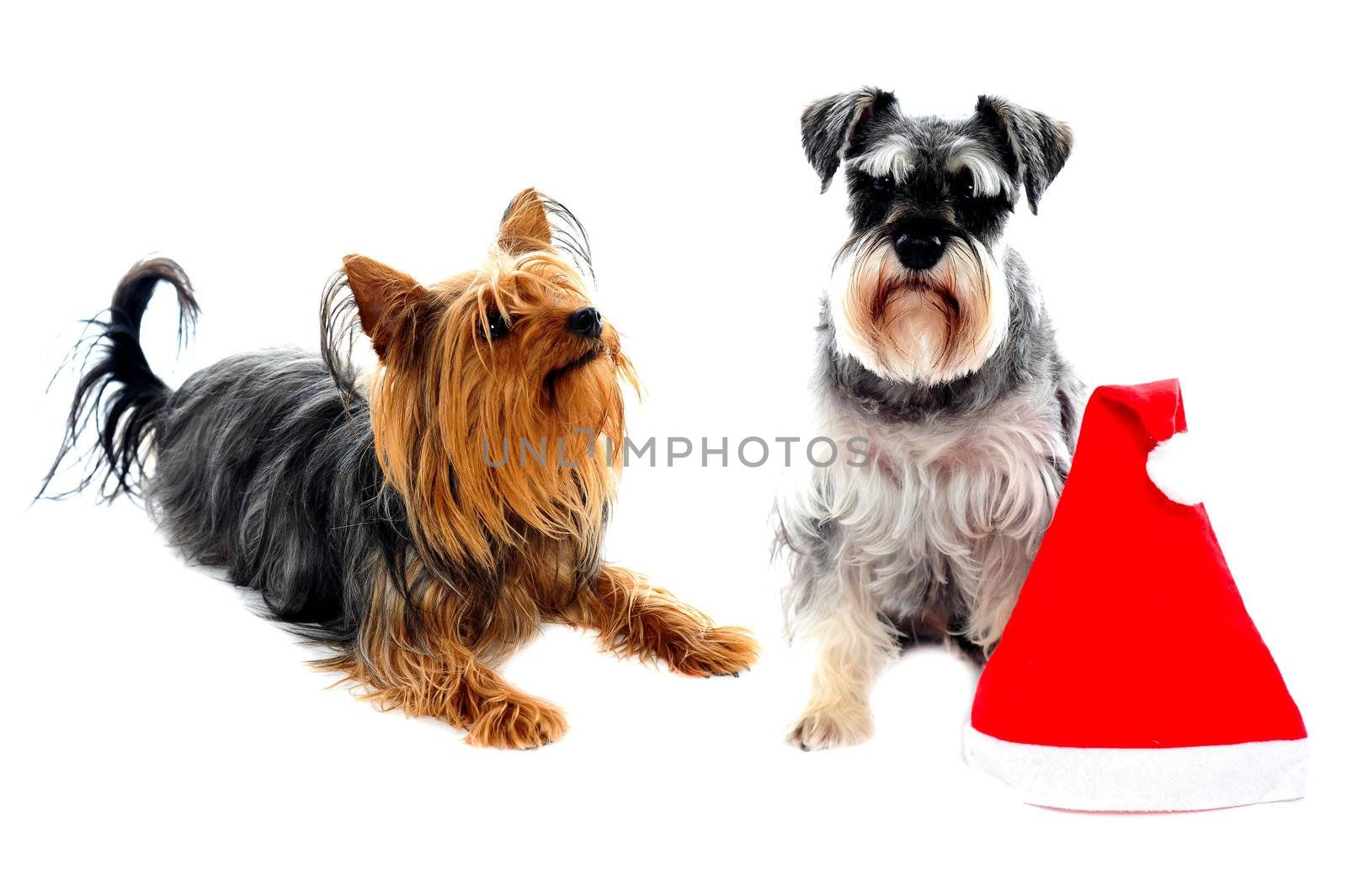 Two cute lovable pets posing right beside christmas cap. Isolated on white