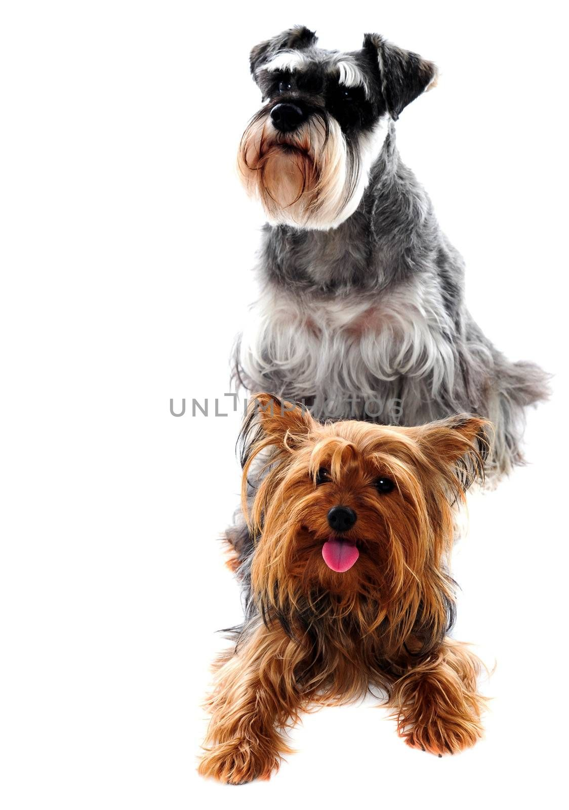 Schnauzer and Yorkshire Terrier. Pets by stockyimages