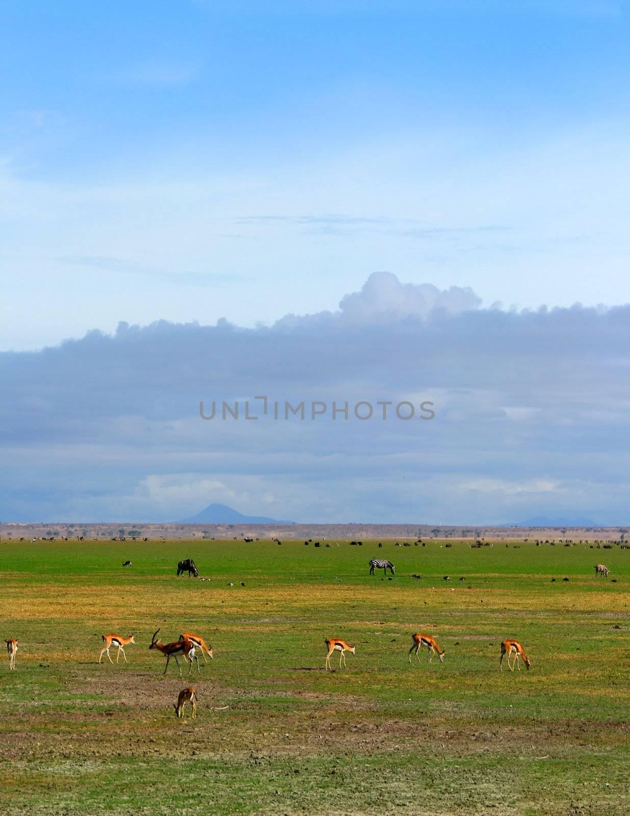 African Wild animals grazing. Kenya. Amboseli national park.